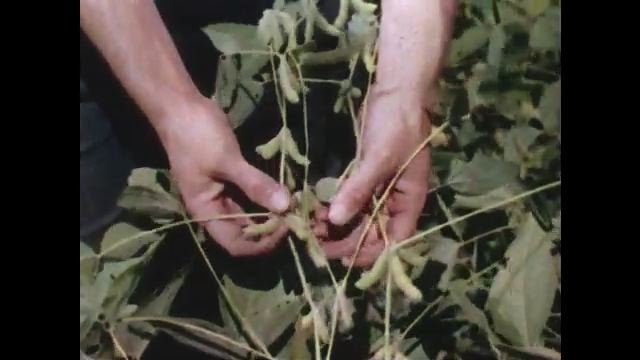 1950s: Hands inspect beans on plant. Products rotate on display.