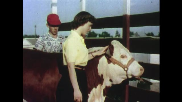 1950s: Girl pets cow. Man watches boy and girl feed cow. Boy and girl watch man brush cow. Boys pull pigs from building, hold up pigs. Man gives ribbon to boy with cow.