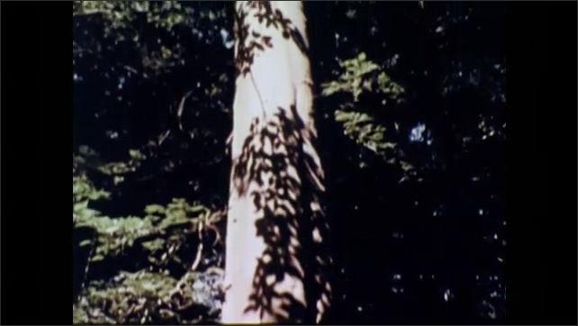 1960s: Shady area in forest with large tree.