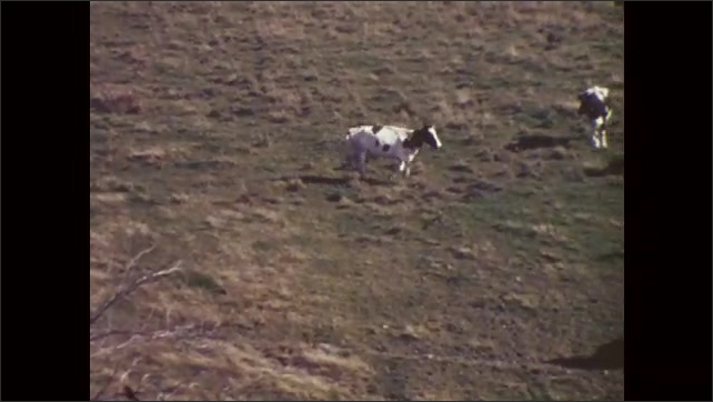 1960s: UNITED STATES: horse eats grass in meadow. Cow runs across grass. Herd of cows in meadow. Title of horse against plain background