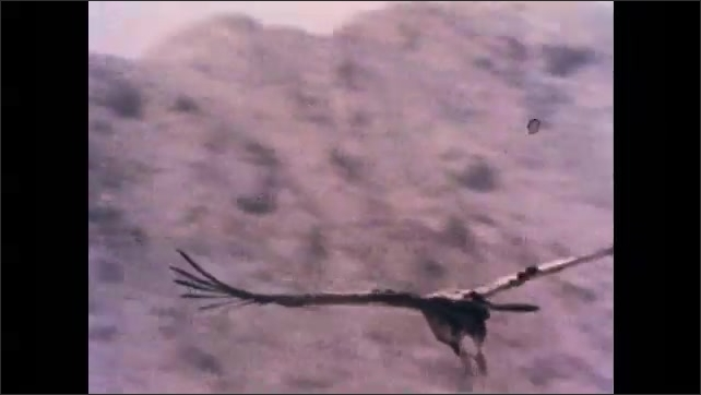 1970s: Condor soars over landscape. Lakeside research center. Reeds and trees before building.