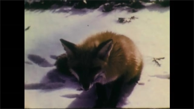 1940s: Fox sits in snow. Boy holds axe and speaks. Fox turns and runs away. Boy points at fox and children smile.