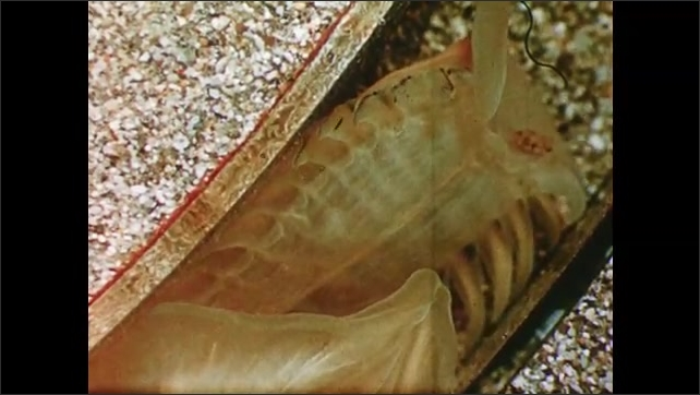 1960s: Inner working of tube worm. Tentacles of tube worm wave out from underneath a rock.
