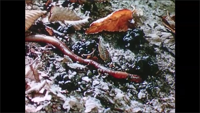 1960s: Leech moves across rock. Earthworm moves across dirt. Firm worm moves along ground underwater.
