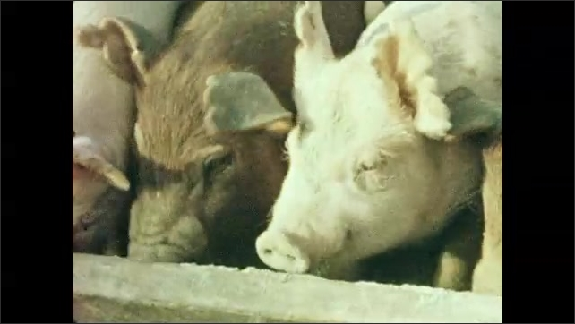 1950s: UNITED STATES: cow looks at camera. Pigs in pen. Pigs eat food from trough.