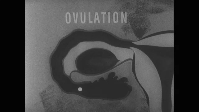 1950s: Illustration of ovary and fallopian tube. Text ????allopian Tube????appears. Text ????vulation????appears. Animation of egg that moves through fallopian tube.