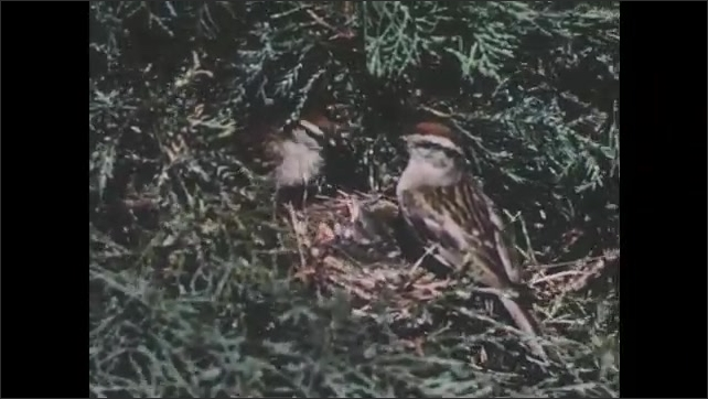 1950s: Long shot of house, path cut through trees. Close up of birds with nest.