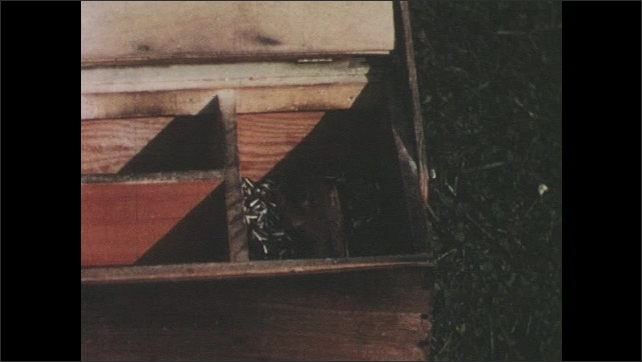 1950s: View of seeds in box. Close up of chipmunk. Chipmunk climbs into box, eats seeds, exits box. View of box, hand closes lid.