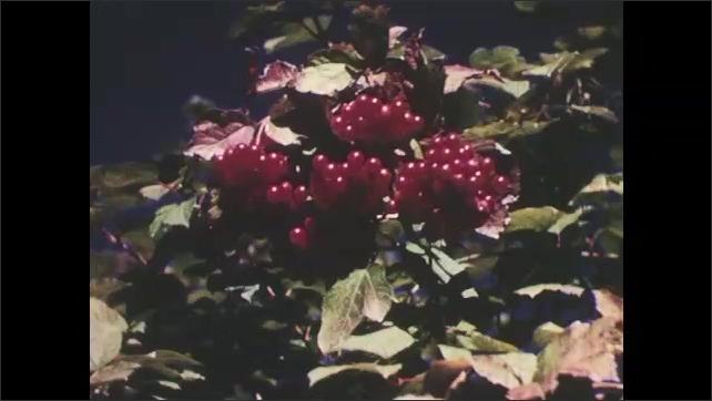 1950s: Berries grow on bush.