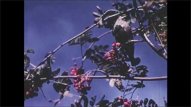 1950s: Birds fly off branch.  Birds eat berries.