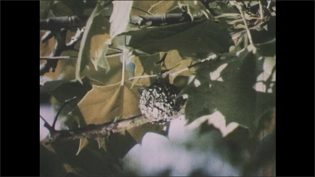 1950s: Birds in nests.