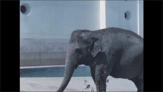 1950s San Francisco: Elephants in San Francisco Zoo.