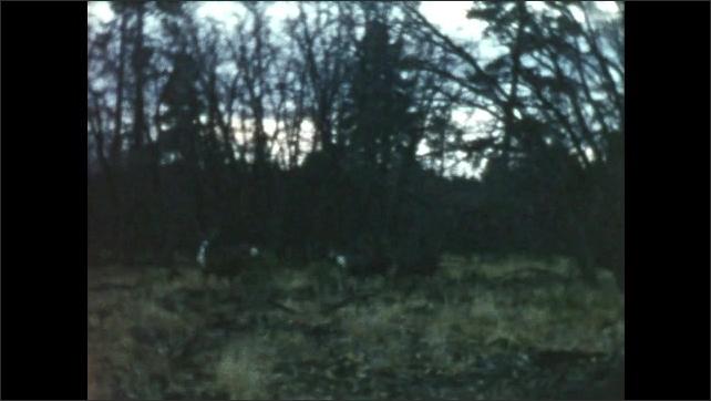 1950s: Deer run through field. Car stops on road as deer pass by.