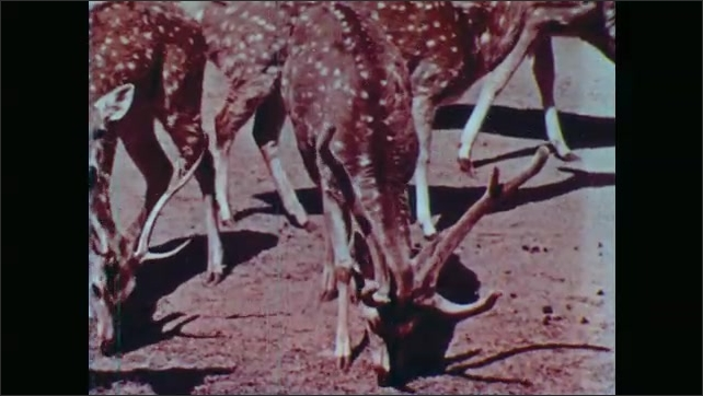 1950s: UNITED STATES: Deer chews food as cud. Male deer with antlers. Ceylon deer in zoo. Deer eats grass.