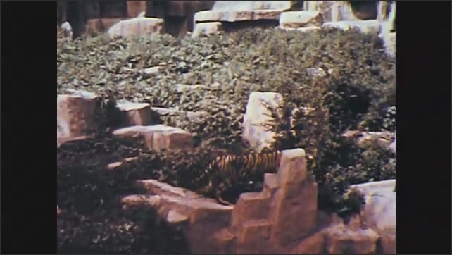 1950s: UNITED STATES: tiger walks in enclosure at zoo. Tiger stands on rocks. Close up of tiger face