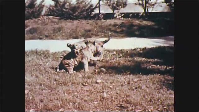 1950s: UNITED STATES: tiger cubs play on grass. Cubs play around zoo keeper