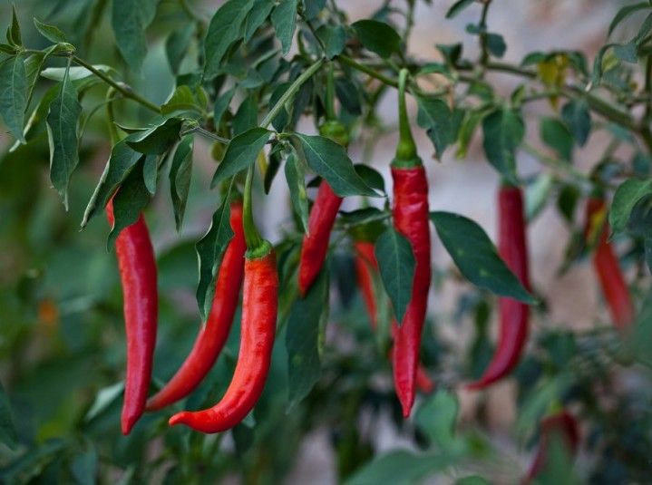 peppers are a great food to suppress appetite