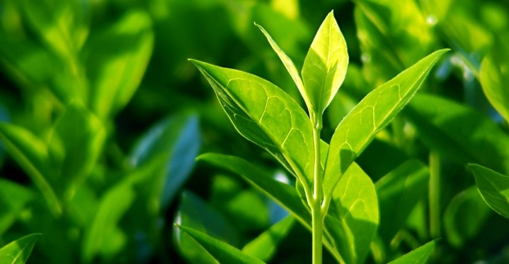 Green Tea Leaves are detoxifying and can help you lose weight