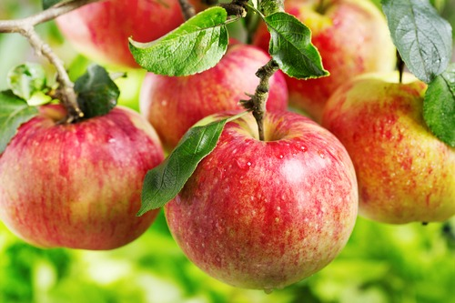 apples are one of the healthiest foods on the planet