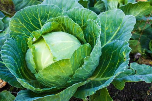 cabbage is a healthy food that will help you lose weight