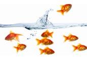 Goldfish Jumper
