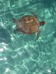 Schildpadden bij Playa Grandi