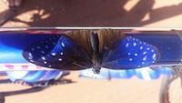 Mooie vlinder met de kleuren van mijn fiets