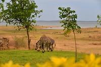 Zebra,s bij Warthogs lodge
