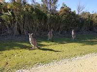 Kangoeroe familie