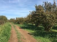 Hazelnootbomen
