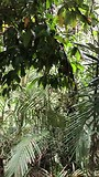 krekel geluid Bali