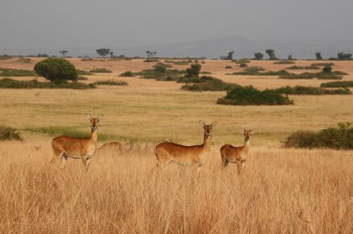 Uganda Kobs In Fraai Savanne Landschap Foto Aenaina