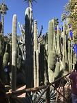 Enorme cactussen in de tuin