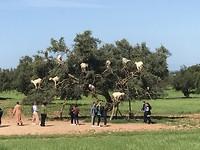geiten in de Arganbomen