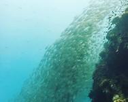 Sail Rock, lotssss of fish