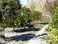 sinaasappelbomen