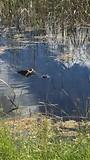 Alligator zwemt voorbij.