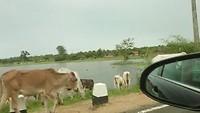 Koeien op straat, onderweg naar huis