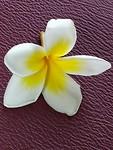 Dit bloempje noemt men Lucky Penny. Heerlijke geur wat Jasmijn achtig.