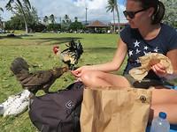 Kippen en kuikentjes voeren