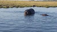 Wat een grote, logge hippo's