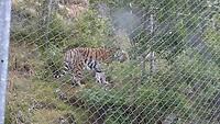 Syberische tijger in berenpark.