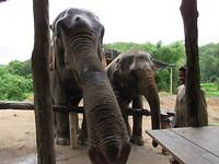 Olifanten Sanctuary in Chiang Mai