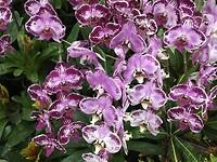 orchideen Thailand