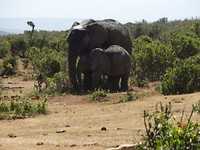 In Addo Elephant National Park