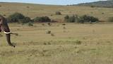 In Addo Elephant National Park, Leeuwinnen