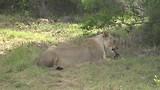 Sibuya Game Reserve, Een etende leeuwin