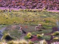 Weer veel vicuña's gezien!