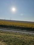 Zonnebloemen vol trots