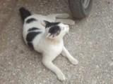 klagend katje